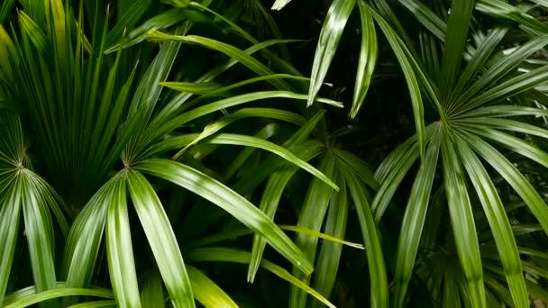 Lédús egzotikus trópusi zöldje a dzsungel erdő egyenlítői éghajlat. Háttér szokatlan növény lombozat imbolygott. Természetes textúra lédús levelekkel. Napfény a tenyér-levél