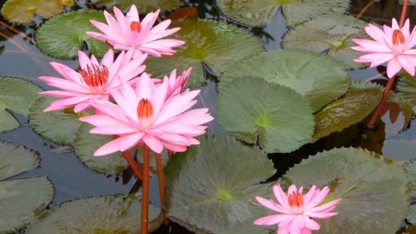 Plovoucí Vodní lilie v rybníku. Ze zeleného listí s růžovou vodou plave květiny v klidné vodě. symbol buddhistického náboženství.