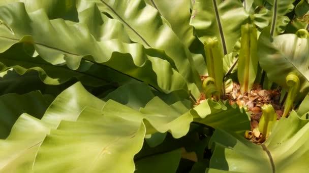 Ptáci hnízdo kapradí, Asplenium nidus. Dešťových pralesů divoký ráj jako přírodní květinové pozadí. Abstraktní textura blízko čerstvých exotických tropických zelených čerstvých kudrnatých listů. Fantastické tmavé lesy