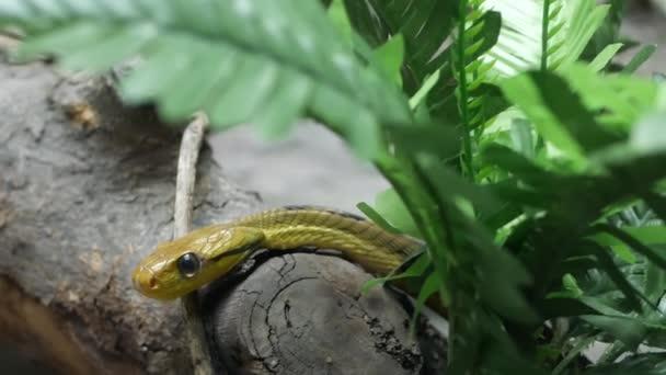 Majestátní jedovatý had s tmavě zelenou kůží. Krásný psí zubý had s n rockem v terrariové kleci mezi zelení