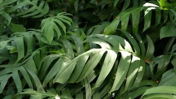 Brillante succose esotici tropicali verdi nel clima giungla foresta equatoriale. Sfondo con insolita pianta fogliame ondeggianti. Struttura naturale con foglie succose. Luce solare su foglia di Palma.