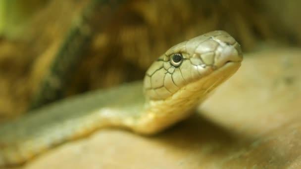 Majestátní jedovatý had s lehkou pruhovanou kůží. Krásný Monokoval král Kobra na skále v terrariové kleci