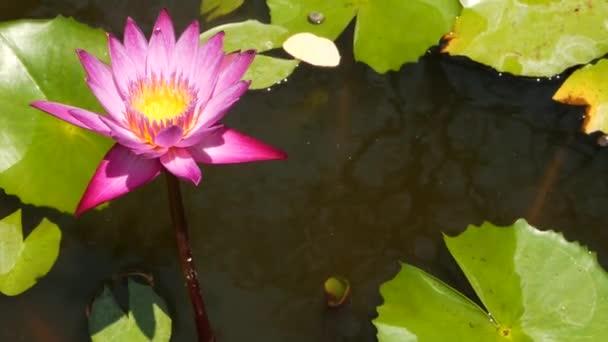 Plovoucí Vodní lilie v rybníku. Ze zeleného listí s růžovou vodou plave květiny v klidné vodě. symbol buddhistického náboženství za slunečného dne