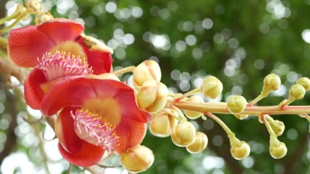 Exotic flowers and tree. Dangerous large powerful green tropical tree cannonball salalanga blooming beautiful orange pink tender flowers. Natural tropical exotic background