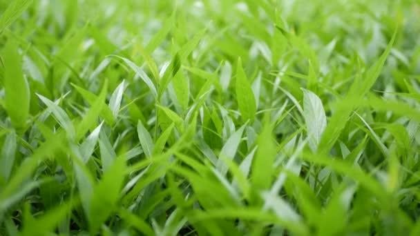 Részletek levelei zöld mezőben. A friss zöld fű kis levelei