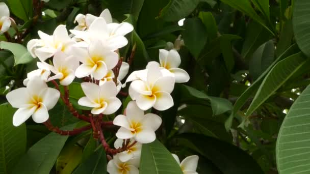 Many exotic white flowers. Blooming Frangipani Plumeria Leelawadee set of white tropical flowers on green tree. Natural tropical exotic background