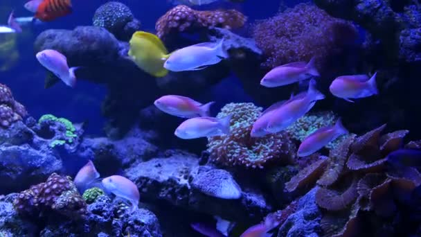 Species of soft corals and fishes in lillac aquarium under violet or ultraviolet uv light. Purple fluorescent tropical aquatic paradise exotic background, coral in pink vibrant fantasy decorative tank