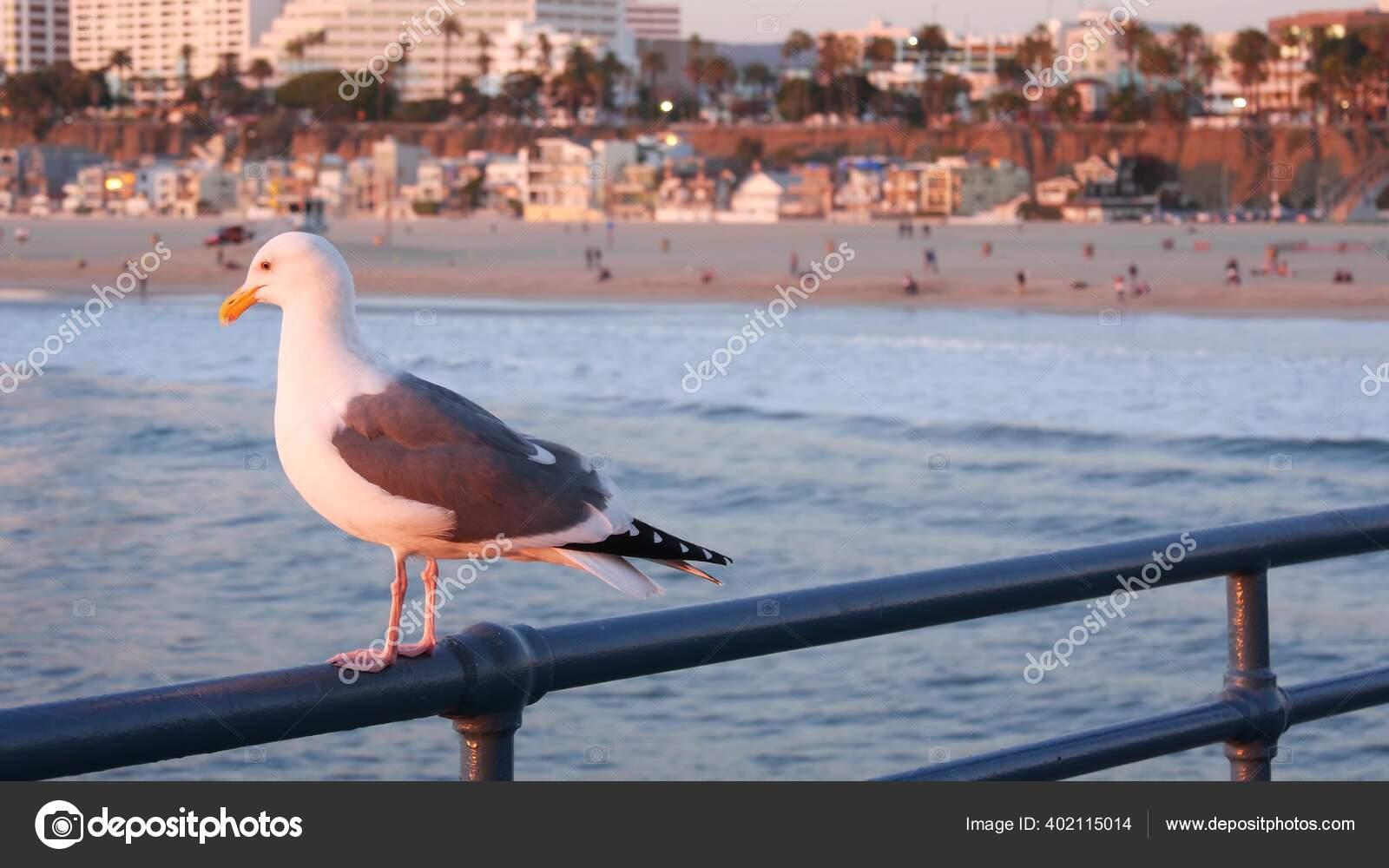 California Summertime Beach Aesthetic Pink Sunset Cute Funny Sea Gull Stock Photo Image By C Dogorasun 402115014