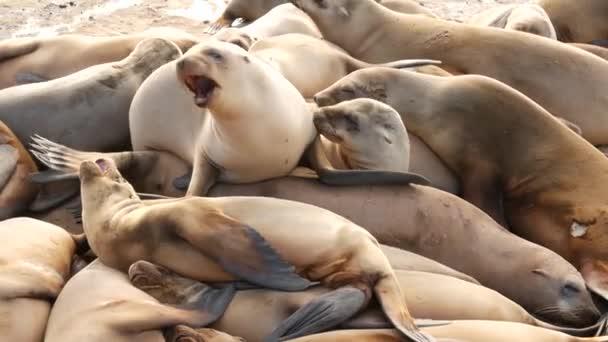 Sea lions on the rock in La Jolla. Wild eared seals resting near pacific ocean on stones. Funny lazy wildlife animal sleeping. Protected marine mammal in natural habitat, San Diego, California, USA