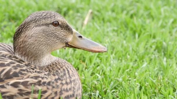 Vicces kacsa friss zöld, lédús fűvel természetes élőhelyen. Különös vízimadár a vadon élő természetben a növényzet között. Aranyos vízi madár a vadonban
