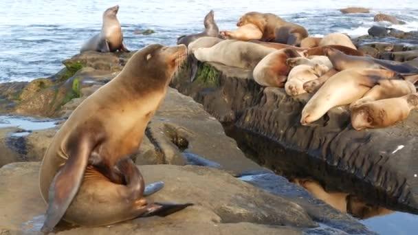 Lachtani na skále v La Jolla. Poblíž Tichého oceánu ležely na kamenech tuleňů. Vtipné líné divoké zvíře spící. Chráněný mořský savec v přírodním prostředí, San Diego, Kalifornie, USA