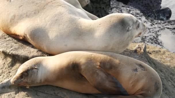 Cute baby cub, sweet sea lion pup and mother. Funny lazy seals, ocean beach wildlife, La Jolla, San Diego, California, USA. Funny awkward sleepy marine animal on pacific coast. Family love and care