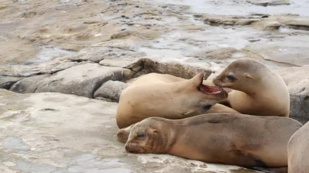 Sea lions on the rock in La Jolla. Playful wild eared seals crawling near pacific ocean on rock. Funny sleepy wildlife animals. Protected marine mammals in natural habitat, San Diego, California, USA