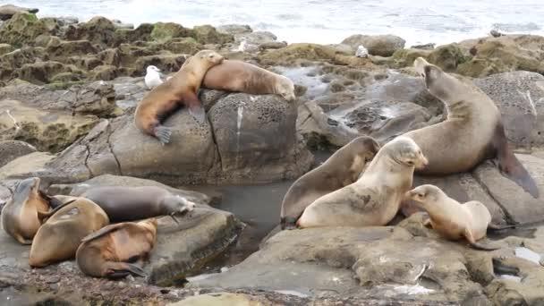 Sea lions on the rock in La Jolla. Playful wild eared seals crawling near pacific ocean on rock. Funny sleepy wildlife animals. Protected marine mammals in natural habitat, San Diego, California, USA