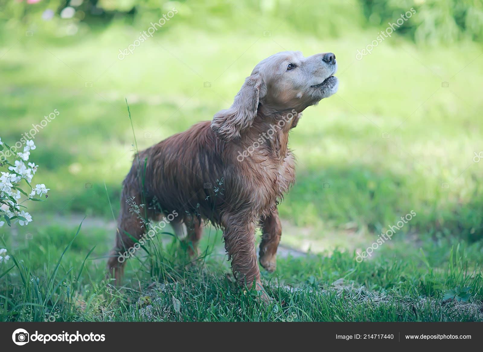 091cbd53392 Roztomilý Americký Kokršpaněl Krásný Čistokrevný Pes — Stock ...