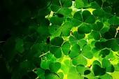 Fotografie zelený trojlístek na pozadí / pozadí přírody, čerstvé zelené šťavnaté barvy, jetel rostlin