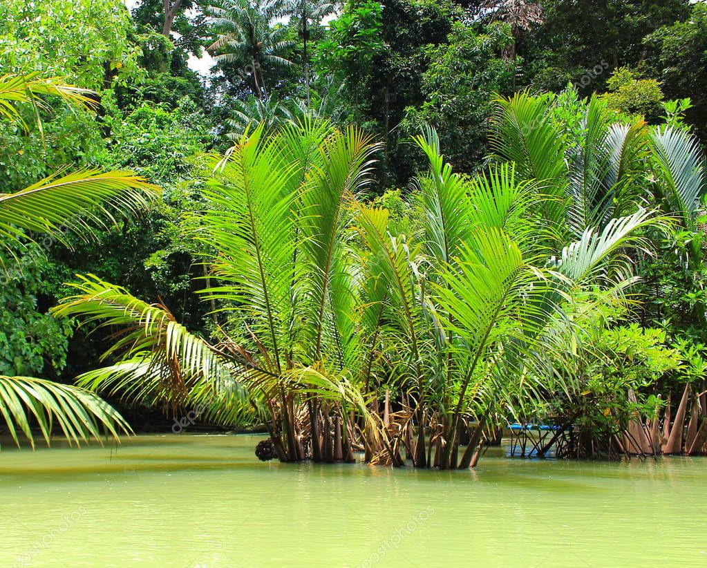River and mangrove palm forest in Philippines. Pure nature energy. Natural green wallpaper concept. Green Nypa Fruticans Palm tree or Nipa palm in water for tropical background.