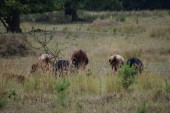 Fotografie Dexter herd in the Pasture
