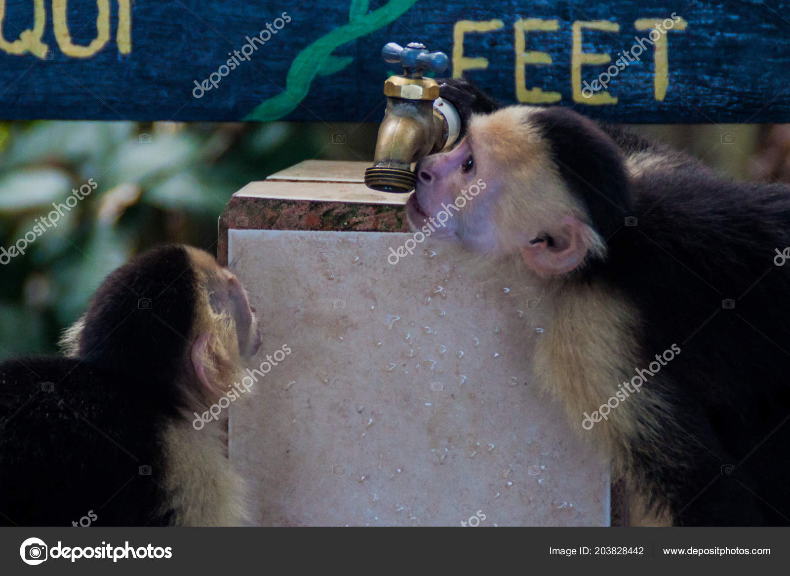 White Headed Capuchin Monkeys Cebus Capucinus Drink Tap