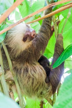 Two-toed sloth with an offspring in a forest near La Fortuna village, Costa Rica