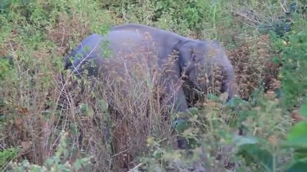 Srí Lanka-i elefánt