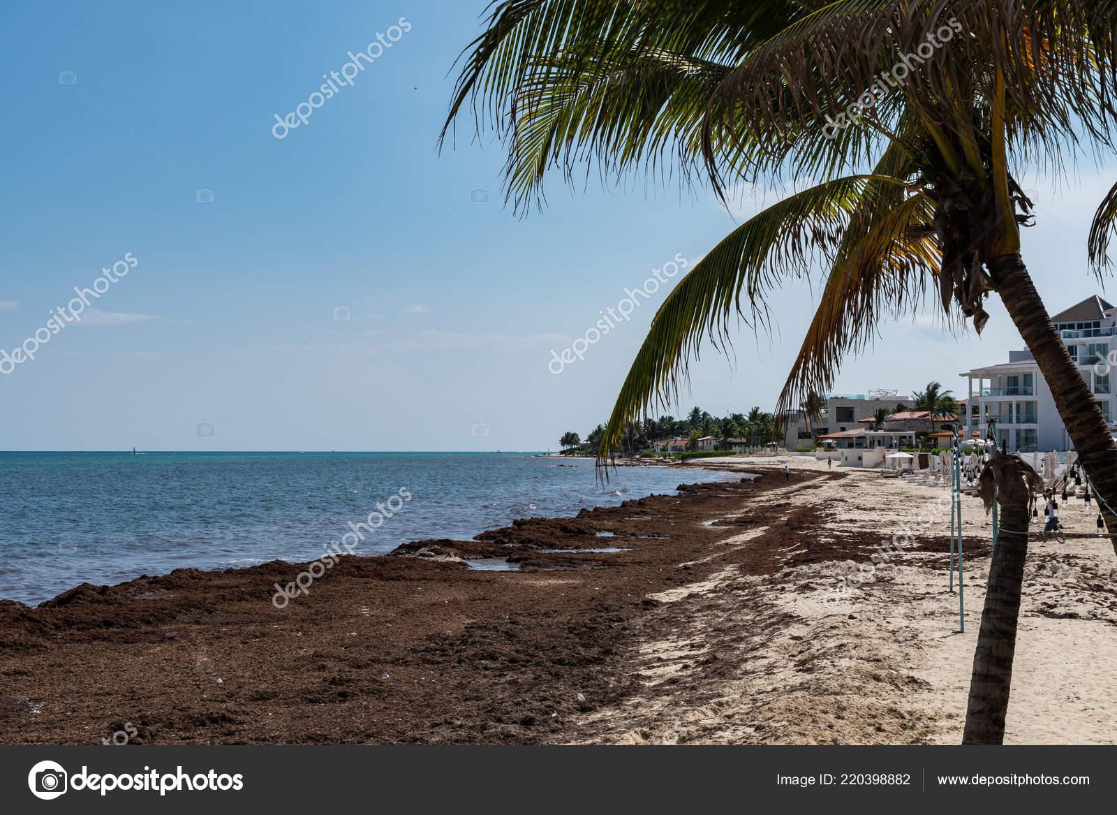 Sargassum Seaweed Sea Algae Problem Caribbean Beach Mexico