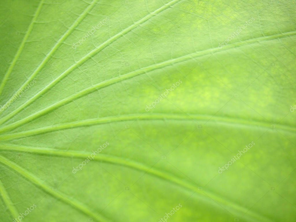 lotus leaf texture close up