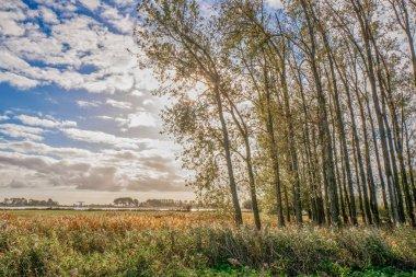 Landscape in backlight with poplars in Terherne, Friesland, Netherlands.