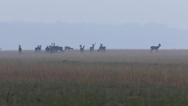 fallow deer herd in mating season ( Dama dama )