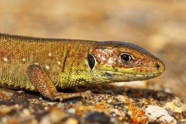 closeup of juvenile green lizard in natural habitat ( Lacerta viridis )