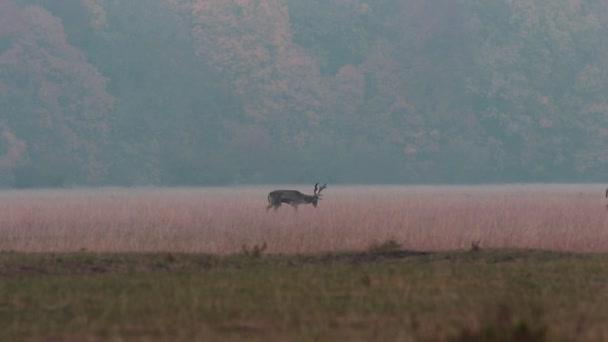 two fallow deer bucks walking on a glade ( Dama dama )