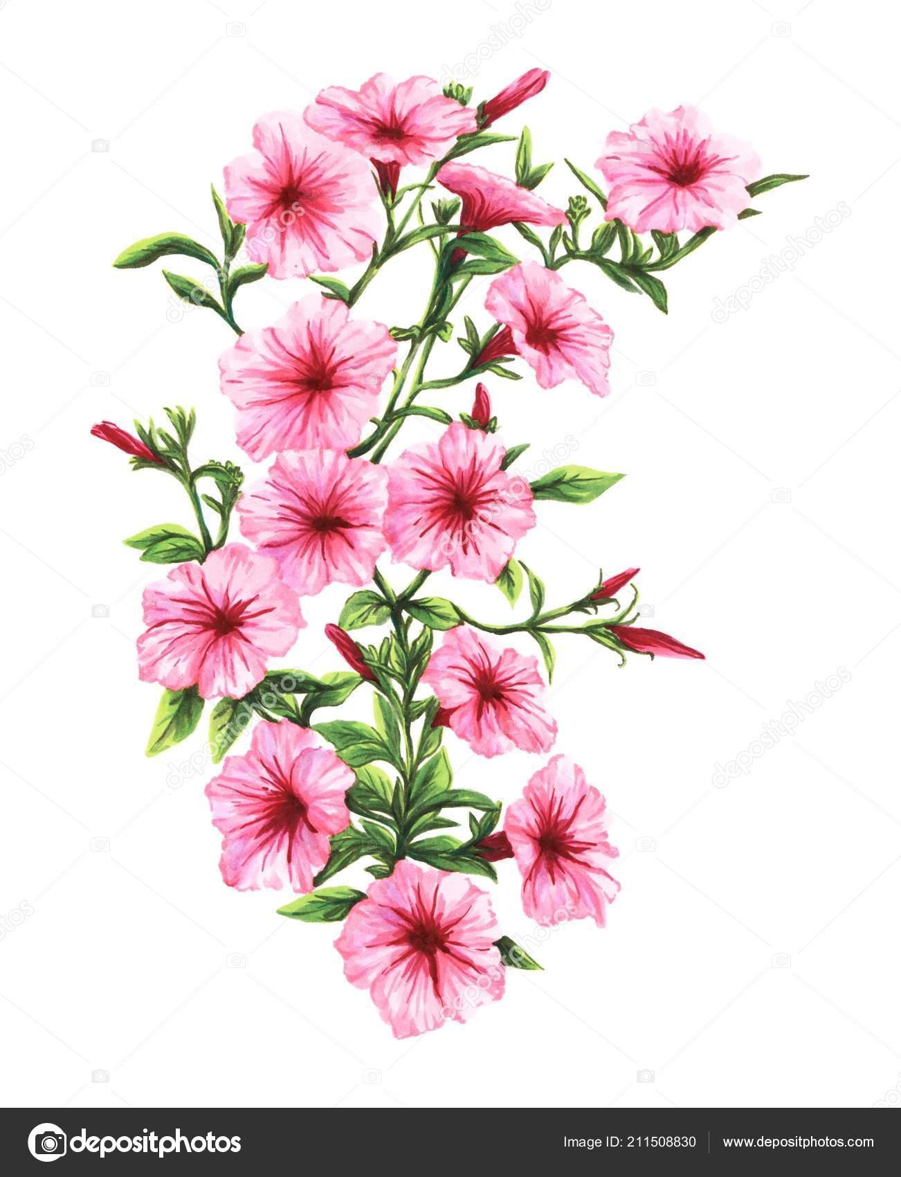 Dibujo A Mano Flores Petunia Marcadores Rosa Foto De Stock