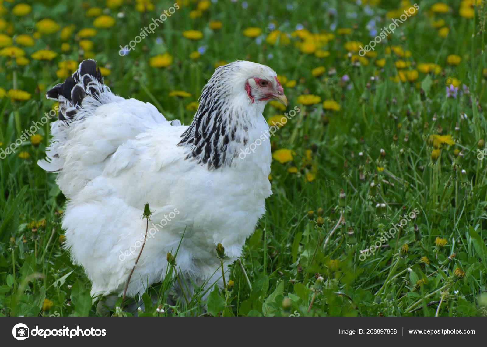 Velké ptáky pro bílé kuřata