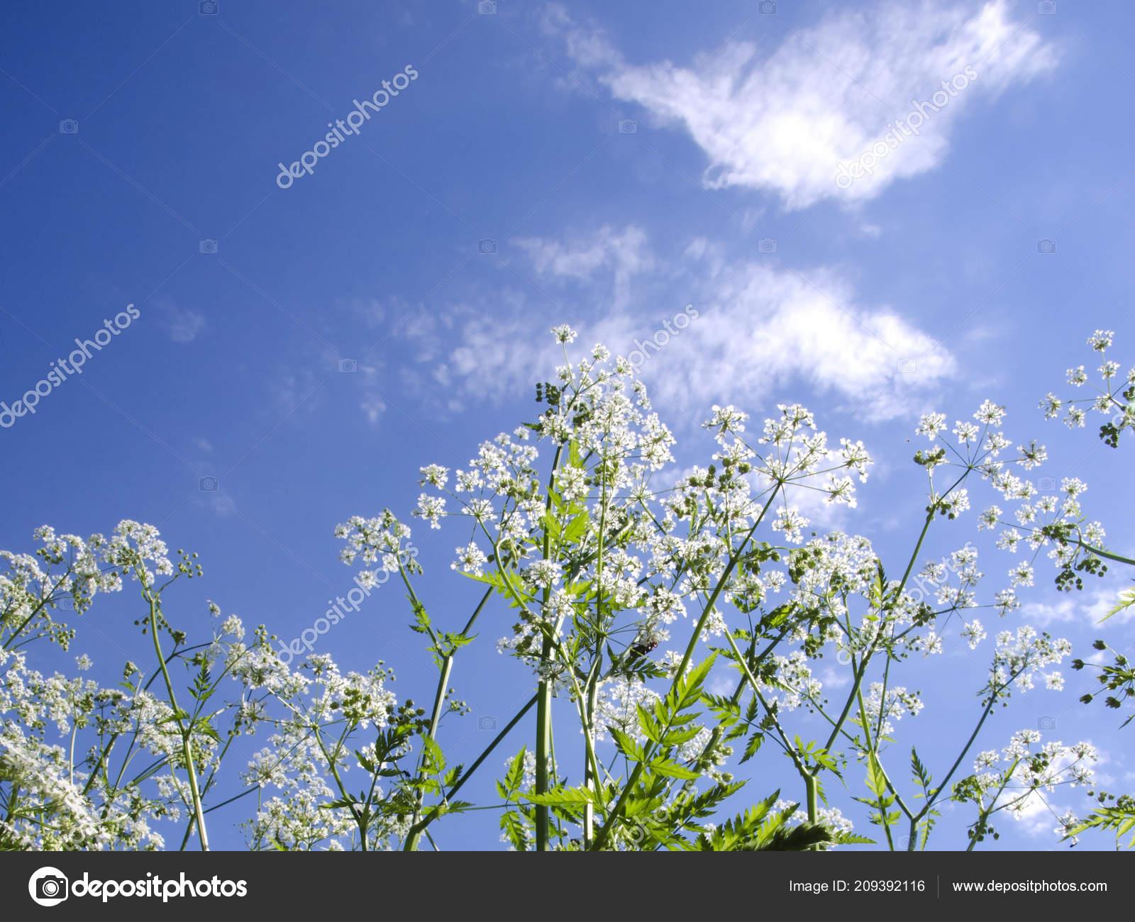 field flowers white flowers sky background ストック写真