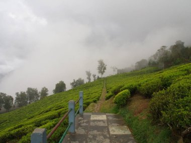 Darjeeling , INDIA , 15th APRIL 2011 : The Most Famous TEA Plant