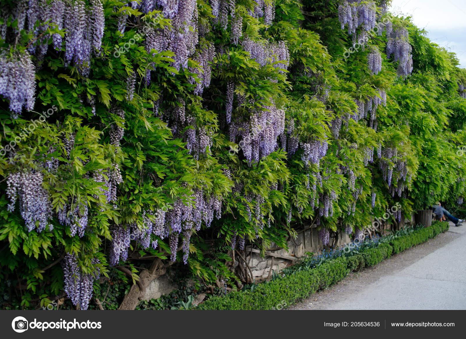 Tree Wisteria Flower Stock Editorial Photo C Zakharovaleksey 205634536