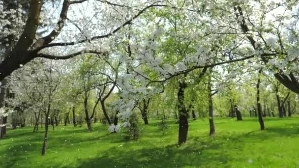 Weiß blühende Apfelbäume im Frühling im Garten langsam fallende ...