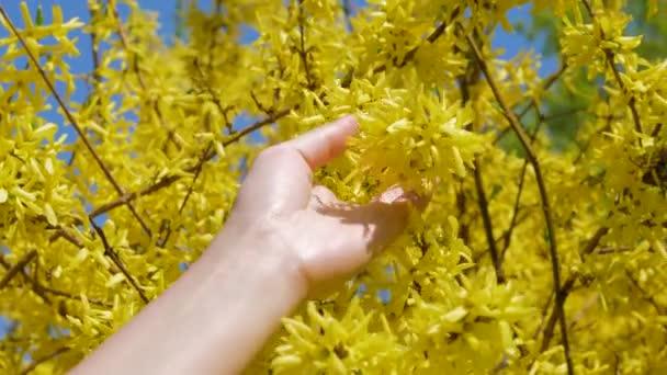 Ženy ruku doteky a mazlení kvete žlutými květy Zlatice
