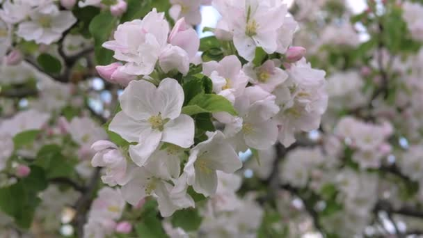 Closeup Beauty Blooming White And Pink Flowers Of The Apple Tree