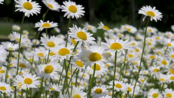 Daisies Bloom In The Field In Summer