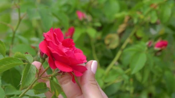Női kéz tartja a vörös rózsa-Bud, és óvatosan stroke ujjaival virágszirmok