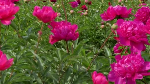 A mező a virágzó élénk színek, a pünkösdi rózsa