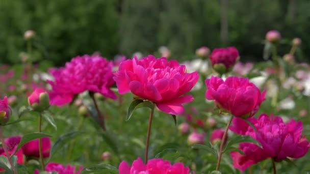 Vértes világos rózsaszín piros pünkösdi rózsa, virágzó virágok területén