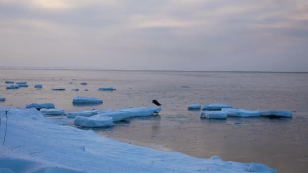 The Predatory Bird Fly From The Ice In Winter In The Sea