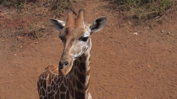 Close Up-afrikai zsiráf fej Savannah nézi a kamerát, és könyörög,