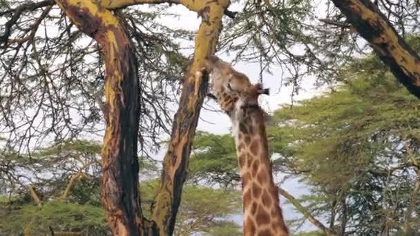 A fej-afrikai zsiráf eszik akác fa kéreg Savannah közelről