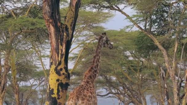 Africká žirafa chodí pod zeleným baldachýnem akácie