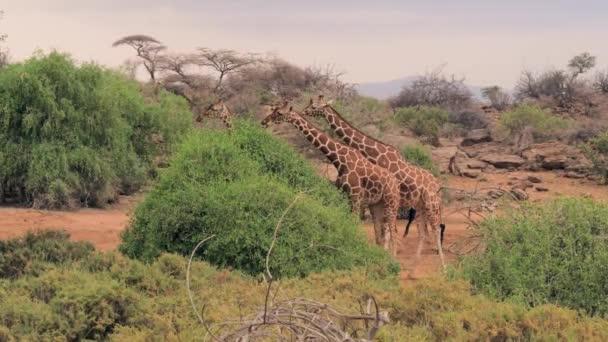 Žirafy jíst zelené listy z keře v africké savaně