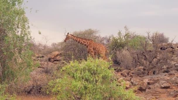 Žirafa prochází křovin a křoví africké savany