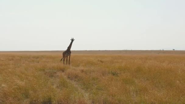 Zsiráf az afrikai szavanna, magas állandó szárított fű, a száraz évszakban